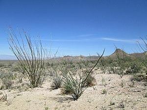 Fouquieria splendens - Image: Ocotillo Forest Santa Rita Mountains Arizona 2014
