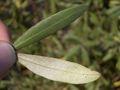 Olea europaea subsp europaea Leafs.jpg