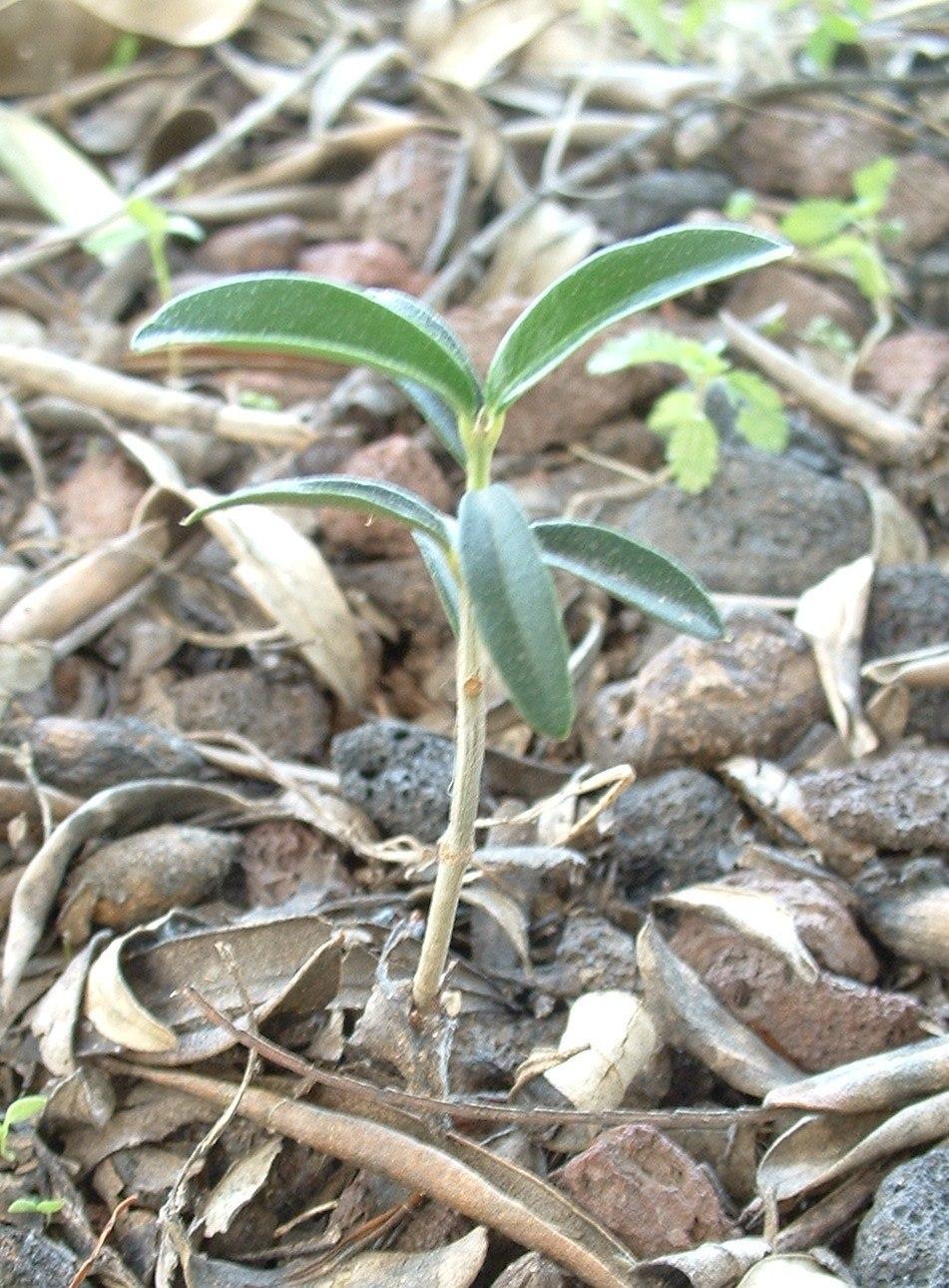 Olea europaea young plant01