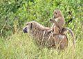 Olive Baboons, Uganda (15318341641).jpg