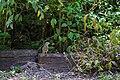Olive sparrow (46954913244).jpg