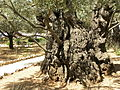 Olive trees in the traditional garden of Gethsemane (6409564287).jpg