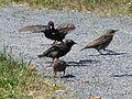 One unhappy birdie (Point Pleasant Park, Halifax NS, June 13 2008) (2575316899).jpg