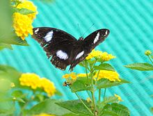 Open wing position of Hypolimnas bolina Linnaeus, 1758 – Great Eggfly WLB DSC 01 46.jpg
