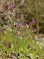 Ophrys tenthredinifera (habitus).jpg