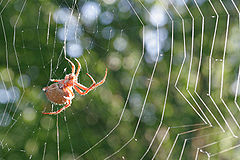 Orb weaver spider day web02.jpg