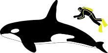 Diagram showing a killer whale and scuba diver from the side: The whale is about four times longer than the person, who is roughly as long as the whale's dorsal fin.