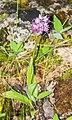 Orchis italica in Lozere (8).jpg