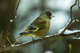 Oriental Greenfinch - Honshu - Japan S4E2635 (23026479292).jpg