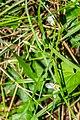 Ornithogalum umbellatum in Causse Comtal (2).jpg