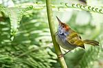 Orthotomus atrogularis, dark-necked tailorbird - Kaeng Krachan National Park (11647476863).jpg