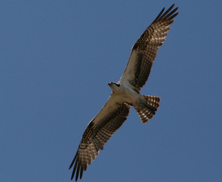 File:Osprey flight.jpg