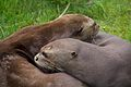 Otters at Chester Zoo 3.jpg