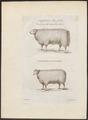 Ovis aries - 1700-1880 - Print - Iconographia Zoologica - Special Collections University of Amsterdam - UBA01 IZ21300079.tif