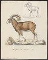 Ovis musimon - 1700-1880 - Print - Iconographia Zoologica - Special Collections University of Amsterdam - UBA01 IZ21300101.tif