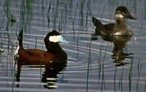 Ruddy duck - Male on the left, female on the right