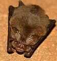 Ozark Big-eared Bat.jpg