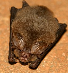 Ozark Big-eared Bat.jpg