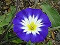 P1000428 Convolvulus tricolor (Royal Ensign) (Convolvulaceae) Flower.JPG