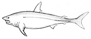 PSM V11 D545 Mackerel shark.jpg