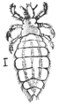 PSM V76 D215 A head louse.png