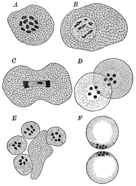 PSM V85 D129 Spermatogenesis of a nematode worm ancyracanthus.png