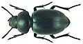 Pachychila dejeani longipennis Kraatz (5930084456).jpg