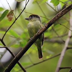Pachyramphus marginatus - Black-capped Becard (female).JPG