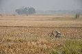Paddy Field after Harvest - Birahi - Nadia 2014-11-28 9916.JPG