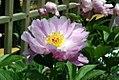 Paeonia lactiflora Pink Delight 3zz.jpg