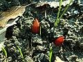 Paeonia peregrina 2020-02-08 8079.jpg