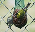 Pair of Eurasian siskins (Carduelis pinus) - Flickr - S. Rae.jpg