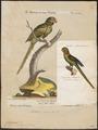 Palaeornis eupatria - 1700-1880 - Print - Iconographia Zoologica - Special Collections University of Amsterdam - UBA01 IZ18500035.tif
