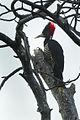 Pale-billed Woodpecker - Mexico S4E8439 (15788019114).jpg