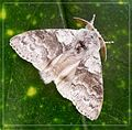 Pale Tussock - Flickr - gailhampshire.jpg