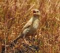 Pale rockfinch (ഇളം പാറക്കുരുവി ) - 12.jpg