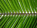Palm frond.jpg