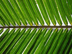Kingdom of Nri - A tender palm frond was a symbol of Nri