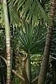 Pandanus utilis 8zz.jpg