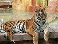 File:Panthera tigris7.ogv