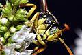 Paper Wasp - Polistes dominula (2811562530).jpg