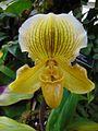 Paphiopedilum Golden Crest.jpg