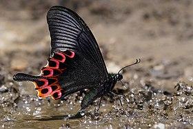 Papilio hoppo.jpg