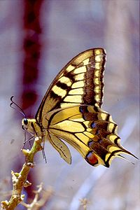 金鳳蝶 Papilio machaon