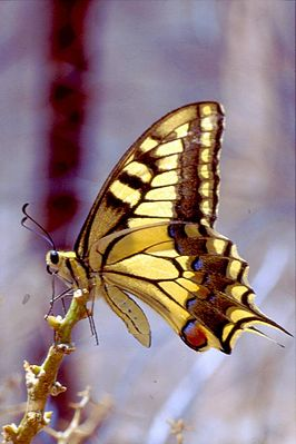 Koninginnenpage (Papilio machaon)
