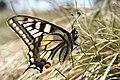 Papilio machaon (46588835125).jpg