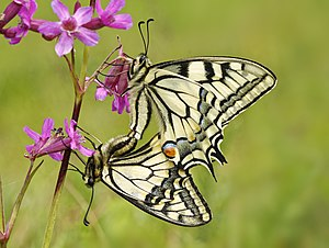 Papilio machaon maiting.jpg