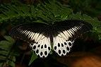 Papilio polymnestor-Kadavoor-2016-03-30-001.jpg