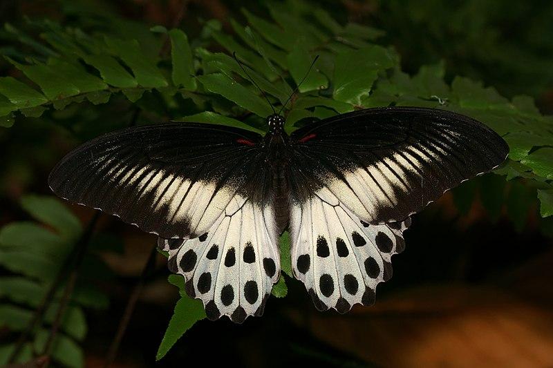 File:Papilio polymnestor-Kadavoor-2016-03-30-001.jpg