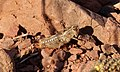 Paracaloptenus caloptenoides f.jpg